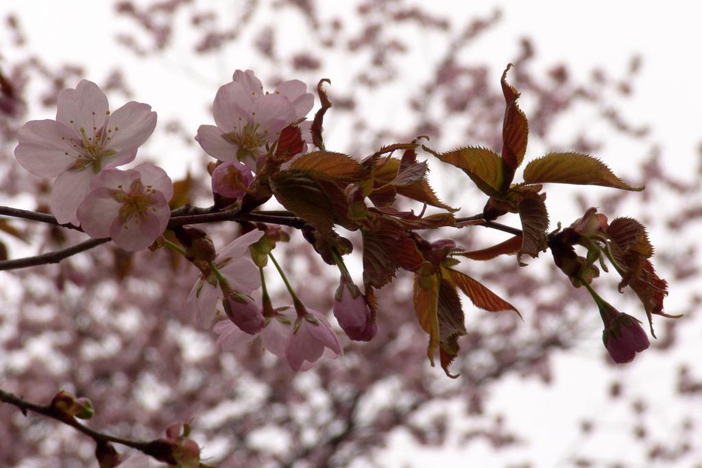 Sakura. (cherry-blossom)